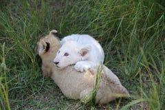 słodkie młode lwy Zdjęcia Royalty Free