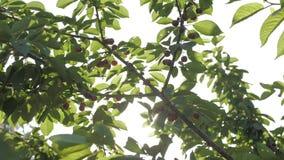 Słodkie wiśnie wiesza na czereśniowej gałąź zdjęcie wideo