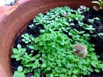 Słodkiego basilu pepiniery roślina Fotografia Stock
