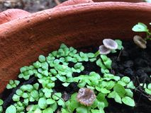 Słodkiego basilu pepiniery roślina Obraz Royalty Free