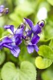 Słodkiego fiołka kwiaty Obraz Royalty Free