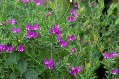 Słodkiego grochu krzak w ogródzie z purpurowymi fiołkowymi kwiatami, r w A obraz stock