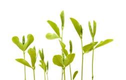 Słodkiego grochu nowe rośliny Obraz Stock