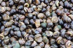 Słodkowodni ślimaczki emitujący wodą brzeg Ob rezerwuar, Zdjęcia Royalty Free