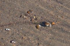 Słodkowodni mussels, nadwodny bivalve mulluscs unionoida zdjęcie royalty free