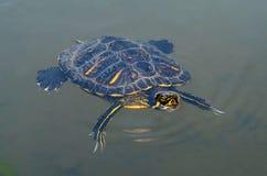 Słodkowodny żółw pływa w wodzie Żółw wzrastał od wodnej głowy terrapin Obraz Stock