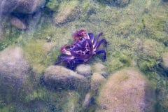 Słodkowodny krab chował na dnie rezerwuar zdjęcie stock