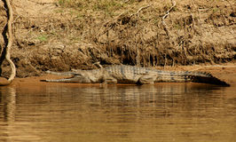Słodkowodny krokodyl Zdjęcie Royalty Free