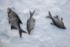 Słodkowodny leszcz (Abramis brama) połowu rybi lód właśnie kłama Russia Transbaikalia łapać w pułapkę zima Fotografia Royalty Free