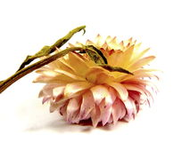 Słomiany kwiat Zdjęcia Royalty Free