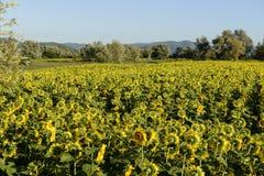 Słoneczników pola w świętej dolinie -02, Rieti Zdjęcie Stock