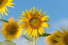 Słoneczników pola w pełnym kwiacie Obrazy Stock