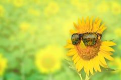 Słoneczników szkła na tle Obraz Stock