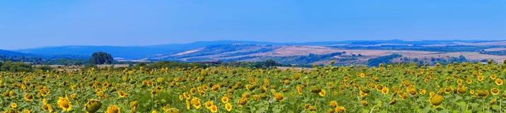 Słonecznik śródpolna panorama Obraz Royalty Free
