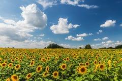 Słonecznik śródpolna sceneria Zdjęcie Stock