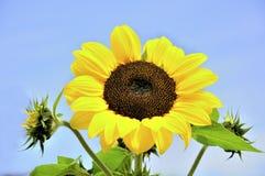 słonecznik obraz stock