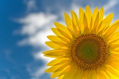 słonecznik Zdjęcia Royalty Free