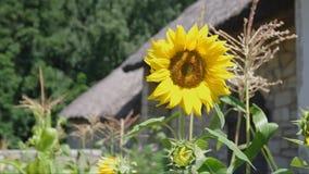 Słonecznik zbiory
