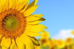 słonecznik Obraz Royalty Free