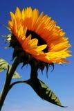 słonecznik błękitne niebo. zdjęcie stock