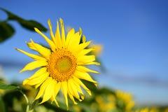 słonecznik błękitne niebo Obraz Stock