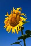 słonecznik błękitne niebo Zdjęcie Royalty Free
