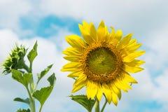 słonecznik błękitne niebo Fotografia Stock