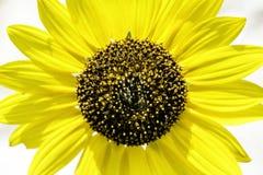 słonecznik bright Obrazy Royalty Free