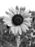 Słonecznik czarny i biały Zdjęcia Stock