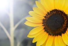 Słonecznik czarny i biały Zdjęcia Royalty Free