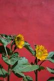 słonecznik czerwona ściana Fotografia Royalty Free