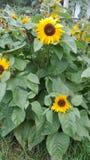 słonecznik dekoracyjny fotografia royalty free