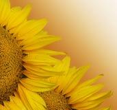 słonecznik dwa Zdjęcia Stock