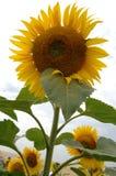słonecznik energii obrazy royalty free