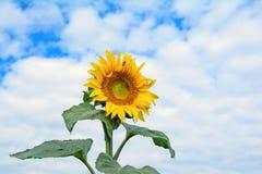 Słonecznik głowa i część swój trzon z liśćmi, Zdjęcia Royalty Free