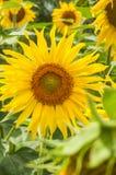 Słonecznik, gubjący wśród liści obrazy stock