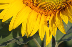 Słonecznik i Jeden pszczoła Obrazy Royalty Free