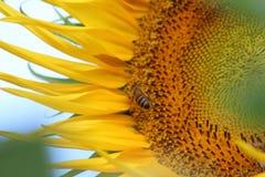 Słonecznik i pszczoła Zdjęcie Royalty Free