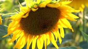Słonecznik i pszczoła zbiory wideo