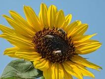 Słonecznik i pszczoły zdjęcia royalty free