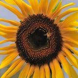 Słonecznik i pszczoły Obrazy Royalty Free
