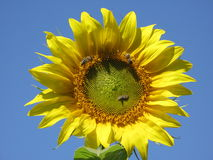 Słonecznik i pszczoły Obraz Stock