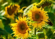 Słonecznik i pszczoły w ogródzie zdjęcia royalty free