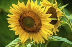 Słonecznik i pszczoły w ogródzie fotografia royalty free