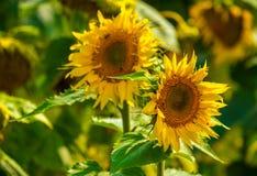 Słonecznik i pszczoły w ogródzie obraz stock