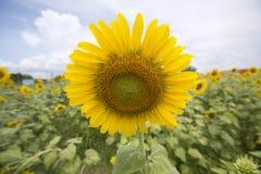 Słonecznik jak uśmiech fotografia stock