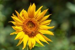 Słonecznik, kolor żółty zdjęcie stock