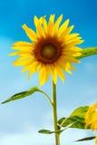 Słonecznik (lat Helianthus) z niebieskim niebem, Niemcy Fotografia Stock