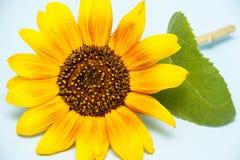 Słonecznik Na błękitny tle Obraz Stock