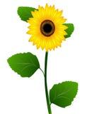 Słonecznik na biały tle Obrazy Stock